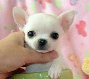 Nice and adorablechihuahua for a happy home