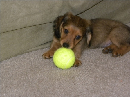 miniature long haired dachshund puppies for sale. long haired dachshund puppies