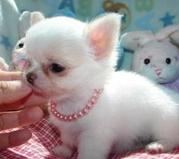 Cute chihuahua pupppies for your home