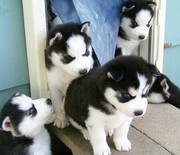 Black and white Siberian Husky Puppies for adoption