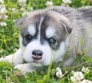 ALL PUPS PRA CLEAR!! AKC Siberian Husky Pup LIFETIME HEALTH GUARANTEE!