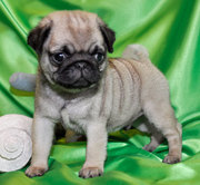 Affectionate and playful Pug puppies for caring Homes.