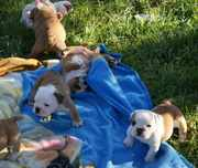 Registered CUTE and Adorable CHRISTMAS English Bulldog Puppies For Ad